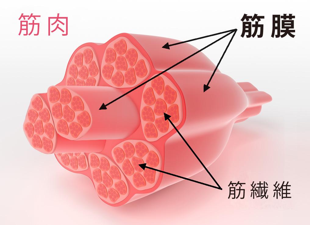 「筋膜」の画像検索結果